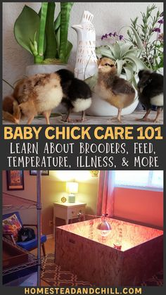 Baby Chick Care Brooders, Heat, Health & More - Congrats on the new or upcoming additions! Raising baby chicks with your family is SO fun – but y - Raising Backyard Chickens, Backyard Chicken Coops, Baby Chickens, Keeping Chickens, Diy Chicken Coop, Backyard Farming, Chicken Garden, Raising Ducks, Urban Chickens