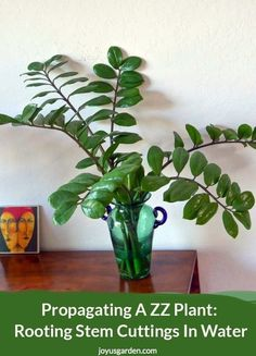 A ZZ Plant: Rooting Stem Cuttings In Water Propagating A ZZ Plant: Rooting Stem Cuttings In Water. A few long stems broke off my ZZ Plant while dividing it into This is all about propagating a ZZ Plant by rooting the stem cuttings in water. It takes som