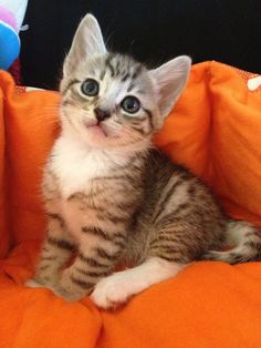 8 weeks old male tabby kitten with white socks smiling at the camera~
