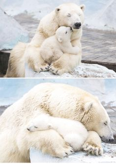 These Mother Bears and Their Cubs Make Beautiful Families Nature Animals, Animals And Pets, Zoo Animals, Cute Baby Animals, Funny Animals, Baby Polar Bears, Teddy Bears, Love Bear, Mother Bears