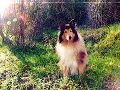 Shine on Me by hermio.deviantart.com on @deviantART #collie #dog #lassie