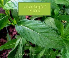 máta peprná Plant Leaves, Herbs, Plants, Herb, Plant, Planets, Medicinal Plants