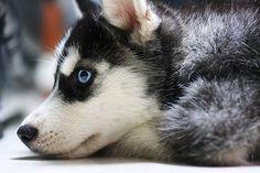 #puppies #husky