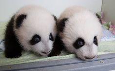 Zoológico de Atlanta, nos Estados Unidos, apresenta filhotes que nasceram em cativeiro; os animais foram os primeiros pandas gêmeos que nasceram no país.