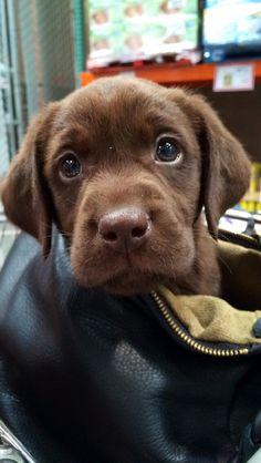 My babe #chocolatelab #puppy