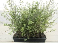 Common Name: Pittosporum Silver Sheen    Botanical Name: Pittosporum tenuifolium Silver Sheen         These plants are about 30 - 35cm in height    Each plant comes in its own 75mm pot.         This variety can grow to about 4m high and 2.5m wide