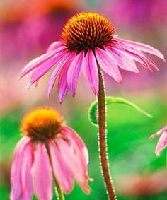 Without intervention, your garden's perennials have a set number of buds that bloom every year. But ... - Michael Peuckert/Alamy