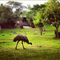 Does YOUR holiday resort have ostriches wandering around? Ostriches, Holiday Resort, Wander, Africa, Instagram Posts, Animals, Animais, Animales, Animaux