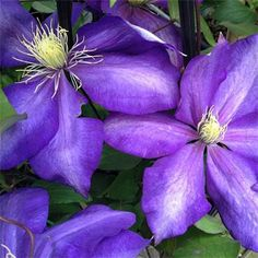 Climbing Clematis, Chelsea Flower Show, Pergola, Amazing, Plants, Outdoor Pergola, Plant, Planets