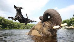Unusual Animal Friendships - Elephant and Dog -Bubbles and Bella: An elephant and a black lab are the closest of friends. These two jokesters like to spend the day frolicking in the water and playing on land