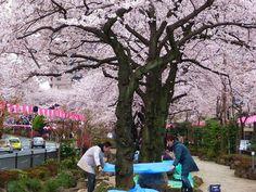 Sakura @ Harimazaka