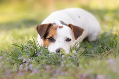 Jack Russell Terrier by Heavenly Pet Photography.                                                                                                                                                                                 More
