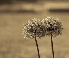 Allium duet by Olga Olay #OlgaOlayFineArtPhotography #ArtForHome #FineArtPrints #Flower