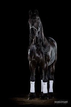 Konie w studio - Monika Bogner Fotografia - Konie fotografii i fotografii psów w Bawarii