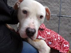TO BE DESTROYED SUN, 2/2/14Manhattan Center ROB - A0990390. MALE, BROWN / WHITE, PITBULL MIX, 4 yrs.- VIDEO: http://www.youtube.com/watch?v=OINW93_GGoQ&feature=youtu.be Rob sees me coming and looks up expectantly as he sees the leash in my hand.With a wag of his tail he steps out of his kennel and I can see how emaciated he is.  He's calm, gentle and easy.