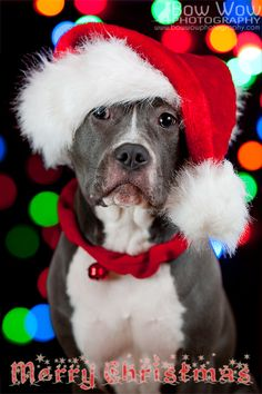 American Pit Bull Terrier Merry Christmas Card Puppy Holiday Dogs Santa Claus Dog Puppies Xmas Pitbull
