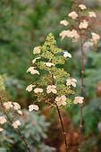 526030 - Panicle hydrangea (Hydrangea paniculata 'Kyushu')