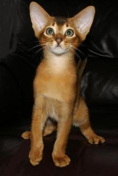 A Merindalee Kitten: My name is Eileen Pittaway and with the help of my husband, I have been breeding Abyssinians since 1975. We have always bred responsibly and pride ourselves