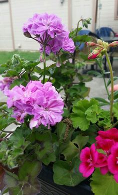 My purple and pink Geraniums