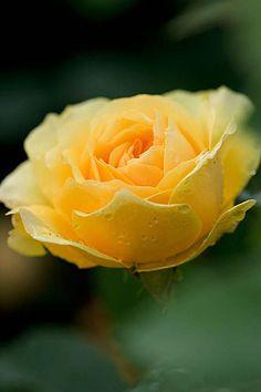 Rosa 'Charlotte' -  English rose
