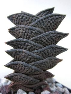 Succulent Plant Information: Haworthia nigra v. diversifolia, Merweville