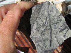 Leaf, stem, branch, fossils from White Lake  nr/Penticton BC Canada