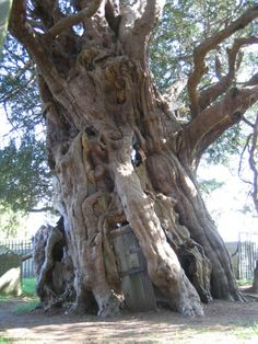 An amazing ancient yew tree with a door. The 4000 year old Crowhurst Yew in Surrey, England. The room in the ancient tree, hollowed out around 1820, can house 14-15 people. It is said that when the locals were making the room they found a cannonball embedded in the trunk, thought to have been fired in The English Civil War (1642–1651)  ~☆~K. Wolf