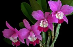 LaelioCattleya [Lc] is a cross between Laelia and Cattleya, its parent genera. Laelia in is a small genus of 11 species and Cattleya is a genus of 42 species of orchids from Costa Rica to tropical South America. (©Photography by Winston D. Munnings)