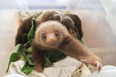 Sloths sleep in trees, and they sleep a lot—some 15 to 20 hours every day. Even when awake they often remain motionless, and two-toed sloths are generally silent. At night they eat leaves, shoots, and fruit from the trees and get almost all of their water from juicy plants.