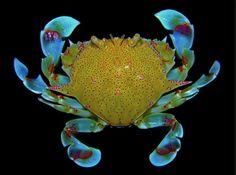Moon Crab (Matuta cf. victor) Weird Sea Creatures, Ocean Creatures, Beautiful Creatures, Under The Water, Life Under The Sea, Underwater Creatures, Underwater Life, Crab Art, Crab And Lobster