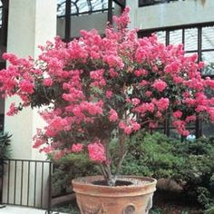 Excellent Gardening Ideas On Your Utilized Espresso Grounds Tonto Hardy Crape Myrtle Patio Trees, Potted Trees, Trees And Shrubs, Outdoor Landscaping, Outdoor Gardens, Landscaping Ideas, Hillside Landscaping, Crepe Myrtle Trees, Dwarf Shrubs
