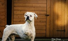 Meet Milly Moo – Winner of The Face of 2015 competition! | The Dog Photographer #dogtogUK #milly2015 Milly is a 3 legged boxer who was rescued after an abusive start in life. More details of her story here: http://dogtog.co.uk/face