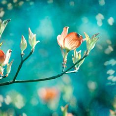 """Enchanting""  Teal Photography - Original fine art photograph of dogwood flowers blooming amid an enchanting teal backdrop."