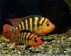 exotic american cichlids | Any fishtank people around here? - Cincinnati Bengals Message Boards ...