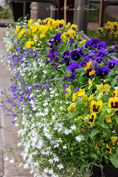 An eye catching combination of pansies and trailing lobelia.