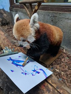 This is Sorrel, a female red panda at the Birmingham Zoo. Her keepers provide enrichment activities for her, as well as the other animals in the park. Sorrel's newest activity is painting!