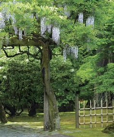 HOW TO: Pruning+and+Training+Wisteria