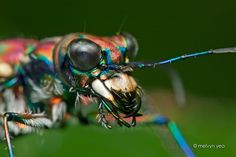 Japanese Tiger Beetle by melvynyeo on DeviantArt