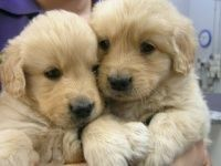So Cute Golden Retriever Puppies Rottweiler Puppies