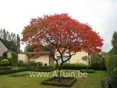 Fluweelboom (Rhus typhina) ′Dissecta′