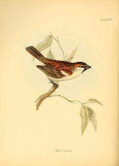 pt. 3 (Aves) - La zoología del viaje del HMS Beagle ... - Biodiversity Heritage Library