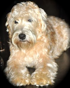 I think this is it, the soft coated Wheaten Terrier . . . in 3 years. =)