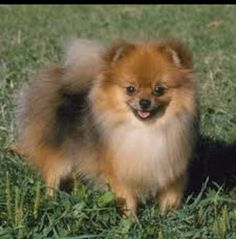 Pomeranian -   Looks just like our dog Coco when I was growing up. Sniff sniff