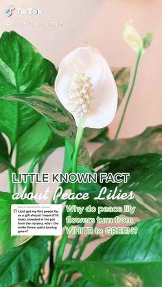 Indoor Garden, Indoor Plants, Indoor Flowers, Peace Lily Plant Care, Household Plants, Low Light Plants, Plant Aesthetic, House Plant Care, House Plants Decor