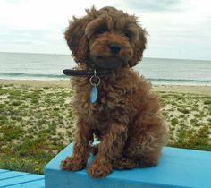 Cavalier King Charles Spaniel/Poodle Mix