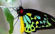 cairns-birdwing-butterfly-animal-profile-web620