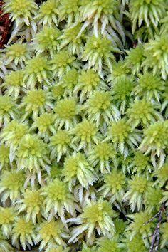 Sphagnum cristatum