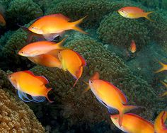 Dispar Anthias, (Pseudanthias dispar) Species Profile, Dispar Anthias, (Pseudanthias dispar) Hobbyist Guide, Dispar Anthias, (Pseudanthias dispar) Care Instructions, Dispar Anthias care, Feeding and more.  ::  Aquarium Domain.com