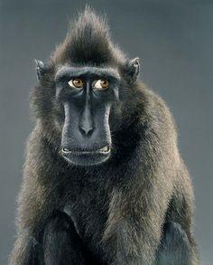 Jill-Greenberg-monkey-portraits
