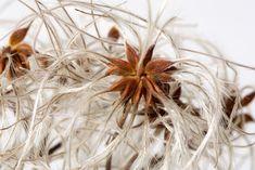Dandelion, Plants, Seeds, Projects, Pictures, Dandelions, Plant, Taraxacum Officinale, Planets